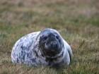 Tuleň Kuželozubý - náhled