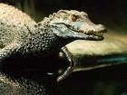 Krokodýl čelnatý - náhled