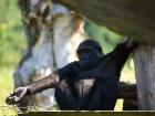 Gorila nížinná - náhled