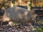 Kapybara - náhled
