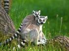 Lemur kata (Lemur catta) s mládětem - náhled