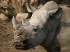 Nosorožec tuponosý jižní - náhled