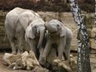 Slon Africký - náhled
