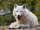 Vlk Polární - náhled